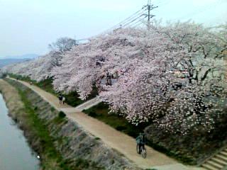 出町柳駅より北へ少し。私が昔住んでいた近くです。個人的には京都で一番好きな花見ポイントです☆