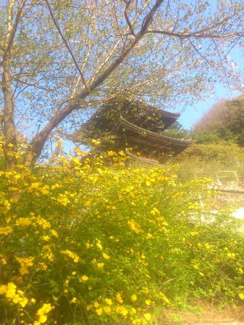 花の名前、お寺の方に聞いて初めて知りました。これが山吹かぁ。お堂と葉桜と山吹と。